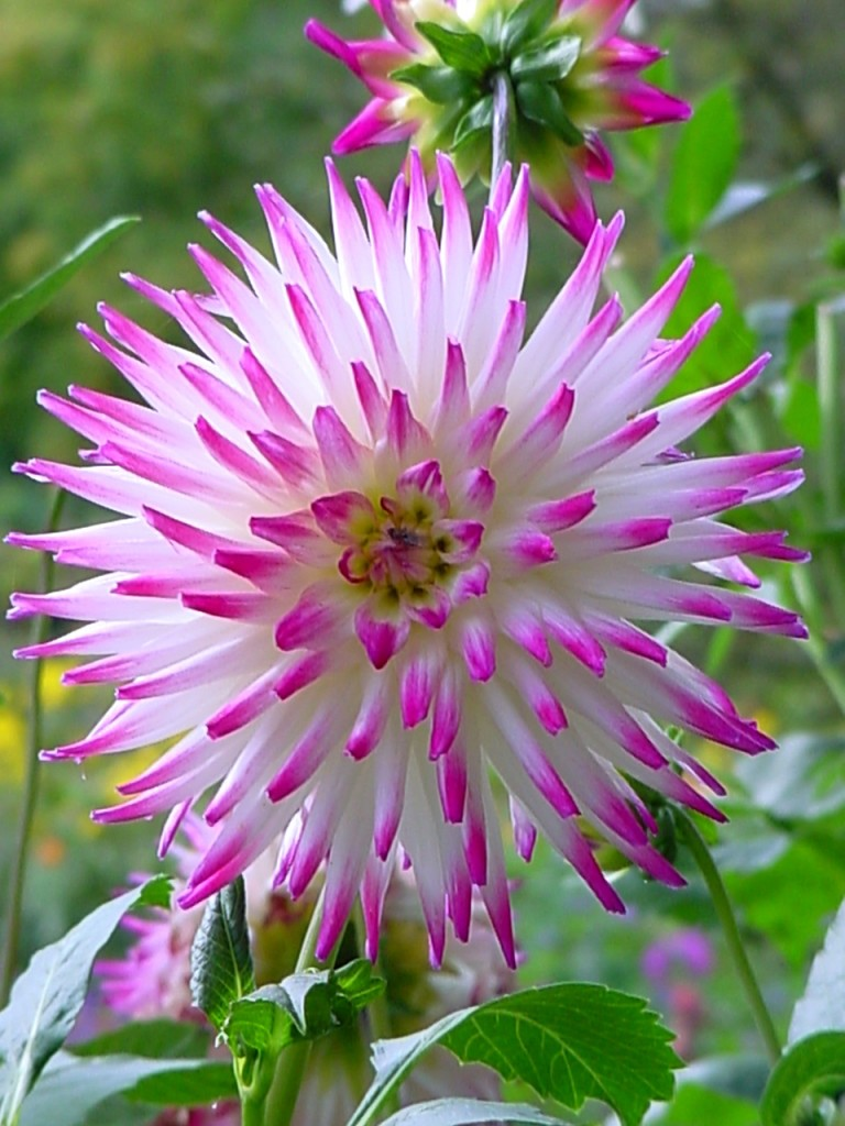 Pink dahlia, Giverny